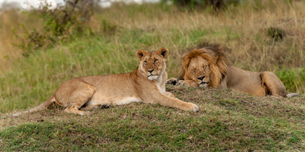 An image of lions relaxing symbolizing how LionDesk can make growing your business stress-free.